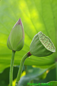 Lotus bud and seed head (DFL88)