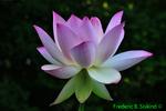Lotus (DDF89a)