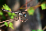 Great blue skimmer, female (DDF298)
