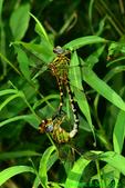 Eastern ringtails mating (DDF298)