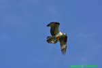 Osprey with snakehead (DHW63)