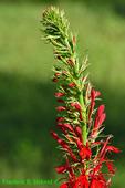Cardinal flower (DFL369)