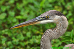 Great Blue Heron head (DHR200)