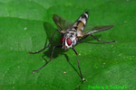 Tachinid fly (DIN1132)