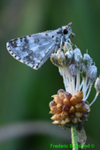 Checkered skipper with dew (DBU168f)