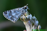 Checkered skipper with dew (DBU168g)