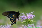 Pipevine swallowtail at Bee Balm (DBU1702)