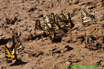 Eastern tiger swallowtails getting minerals (DBU804c)