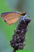 Dewy Least Skipper (DBU370)