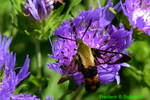 Snowberry clearwing moth (DBU500)