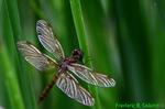 Eastern amberwing (DDF797)