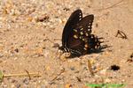 Spicebush swallowtail getting minerals (DBU252)
