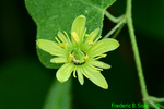 Yellow Passion flower (DFL811a)