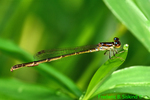 Fragile forktail with water mites (DDF1465)