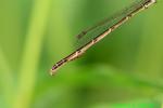 Fragile forktail abdomen with water mites (DDF1466)