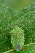 Green stink bug (DIN219e)