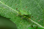 Green stink bug (DIN219b)