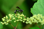 Thick-headed fly female (DIN1151)