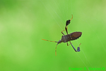 Leaf-footed bug hanging by a thread (DIN1167)