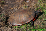 Red-bellied turtle laying eggs (DTT14)