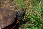 Red-bellied turtle head (DTT15)