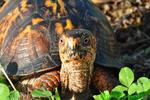 Eastern box turtle (DTT37)