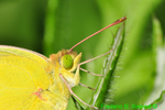 Orange sulphur closeup (DBU835)