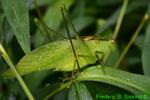 Round-headed Katydid (DIN270)