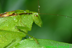 Round-headed Katydid (DIN270)