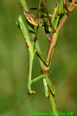 Carolina mantis nymph, female (DIN570)