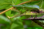 Mating Carolina Mantids; male's head eaten (DIN569a)