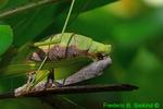 Mating Carolina Mantids (DIN569)