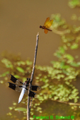 Common Whitetail and Eastern Amberwing dragonflies (DDF709)