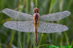 Dew-covered Wandering Glider (DDF1167)