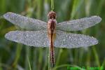 Dew-covered Wandering Glider (DDF1167)