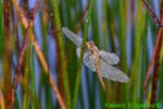 Dew-covered Wandering Glider (DIN1166)
