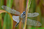 Dew-covered Blue Dasher (DDF1751)