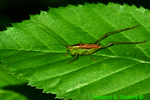 Short-winged meadow katydid (DIN1201)