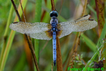 Dew-covered Blue Dasher (DDF932a)