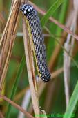 Turbulent Phosphila Moth caterpillar (DCP541)