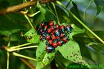 Florida Predatory Stink Bug Nymphs (DIN1211)