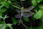 Common Green darner (DDF710)