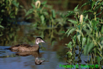 Juvenile wood duck (GD230)