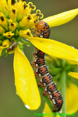 Gold moth caterpillar on wingstem (DCP35d)