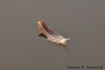Canada goose feather floating on water (DGD22)
