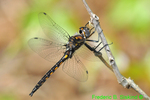 Common baskettail (DDF1686)