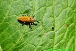 Rhubarb weevil (DIN1291)