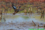 DGD8 Blue-winged teal takeoff (DGD8)