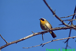 Yellowthroat (SB23)