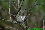Blue-gray gnatcatcher in nest (SB62)